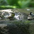 写真: 180701-5混浴・メジロとシジュウカラ