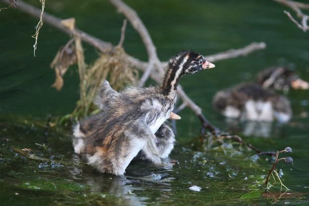 Photos: 180702-4カイツブリの幼鳥