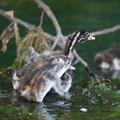 写真: 180702-4カイツブリの幼鳥