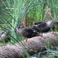Photos: 180702-7集団が分裂?・カルガモの幼鳥