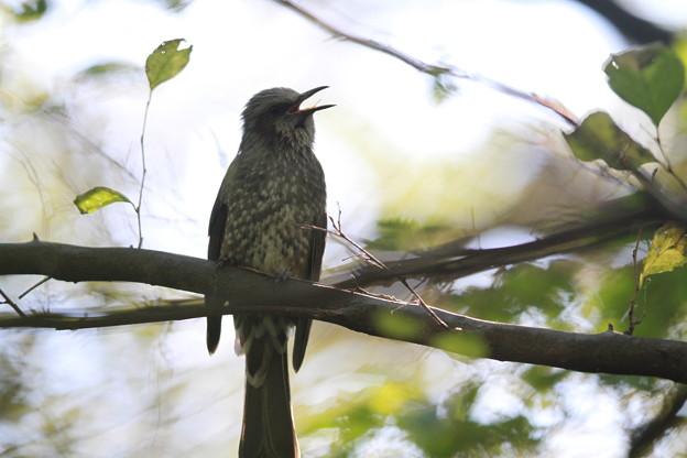 私の野鳥図鑑(蔵出し)・121024ヒヨドリの舌