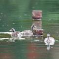 写真: 180705-3カイツブリの三羽の幼鳥