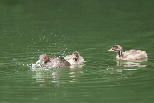 180707-4幼鳥の餌を準備する親