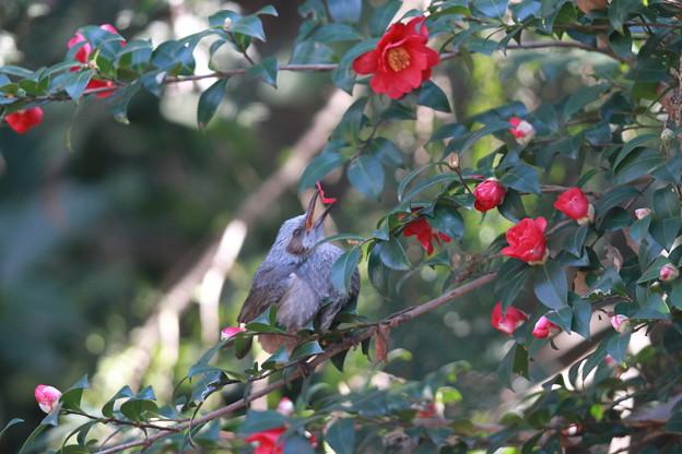 私の野鳥図鑑(蔵出し)・130201ツバキの花びらを食べるヒヨドリ