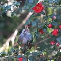 写真: 私の野鳥図鑑(蔵出し)・130201ツバキの花びらを食べるヒヨドリ