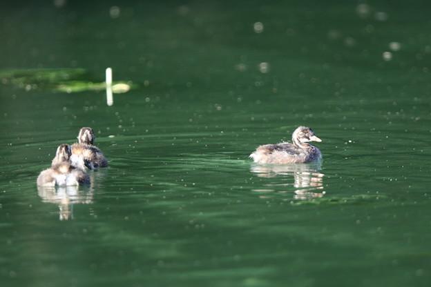 180709-7カイツブリの幼鳥が三羽そろったけれどこんな写真しか撮れなかった