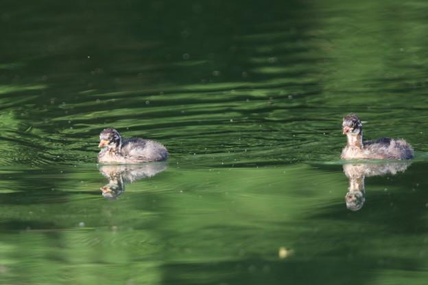 180711-4カイツブリの二羽の幼鳥