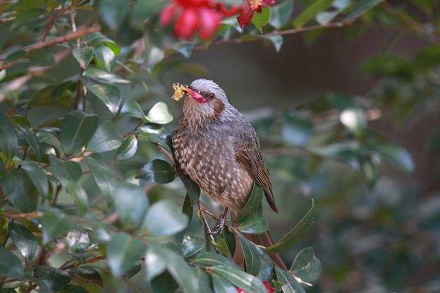 私の野鳥図鑑(蔵出し)・130228ツバキの蕊を食べるヒヨドリ