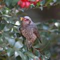 写真: 私の野鳥図鑑(蔵出し)・130228ツバキの蕊を食べるヒヨドリ