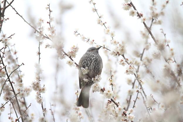 私の野鳥図鑑(蔵出し)・130307ヒヨドリと白梅