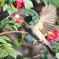 写真: 私の野鳥図鑑(蔵出し)・180313-3ツバキの蜜をホバリングしながら吸うヒヨドリ