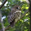 写真: 私の野鳥図鑑(蔵出し)・141107-9初見初撮り・超珍鳥・フクロウ