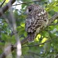 私の野鳥図鑑(蔵出し)・141107初見初撮り・超珍鳥・フクロウ