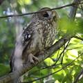 写真: 私の野鳥図鑑(蔵出し)・141107初見初撮り・超珍鳥・フクロウ