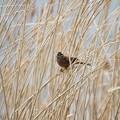 写真: 私の野鳥図鑑(蔵出し)・110407ホオジロ