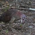 私の野鳥図鑑(蔵出し)・090428IMG_7307ミミズをとったミゾゴイ