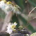 写真: 私の野鳥図鑑(蔵出し)・110410濡れ鼠・メジロ