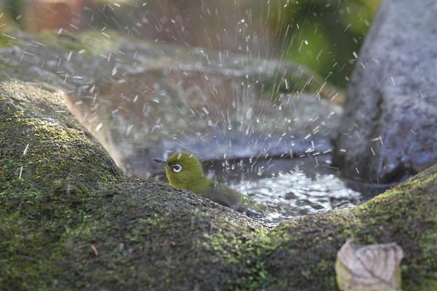 私の野鳥図鑑(蔵出し)・111216メジロの水浴び