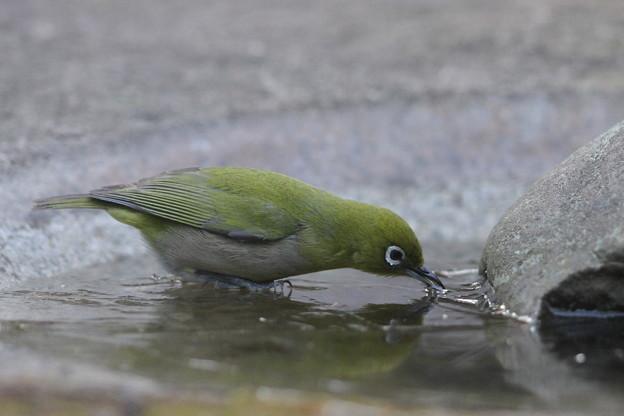 私の野鳥図鑑(蔵出し)・120219氷の上で水を飲むメジロ