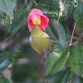 写真: 私の野鳥図鑑(蔵出し)・120301メジロとツバキ