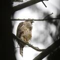 写真: 180614-20悲しそうに鳴くオオタカ♀