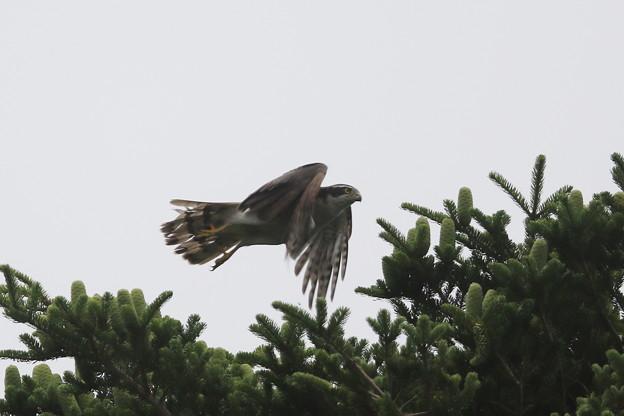 写真: 180615-11オオタカの飛び出し(4/4)