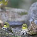 写真: 私の野鳥図鑑(蔵出し)・120412アオジ♀とメジロ