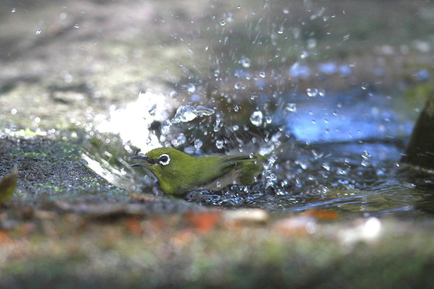 私の野鳥図鑑(蔵出し)・121125メジロの水浴び
