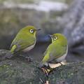 写真: 私の野鳥図鑑(蔵出し)・121207メジロ
