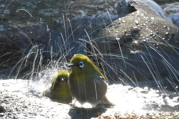 私の野鳥図鑑(蔵出し)・121225メジロの水浴び