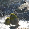 写真: 私の野鳥図鑑(蔵出し)・121225メジロの水浴び