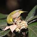 写真: 私の野鳥図鑑(蔵出し)・130104琵琶の蜜を吸うメジロ