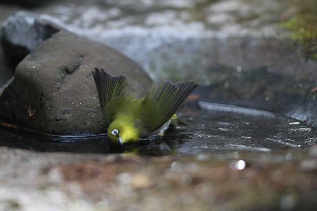 私の野鳥図鑑(蔵出し)・130106氷の上で水浴び?・メジロ