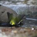 写真: 私の野鳥図鑑(蔵出し)・130106氷の上で水浴び?・メジロ