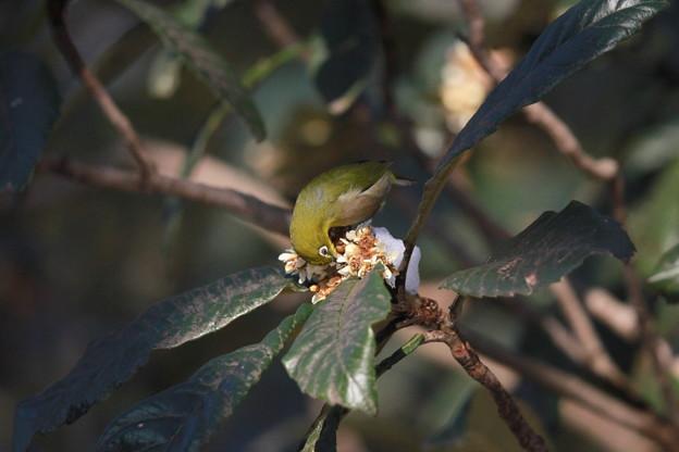 私の野鳥図鑑(蔵出し)・130115ビワの蜜を吸うメジロ
