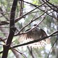 写真: 181009-35水浴び後羽を乾かすツミ♀