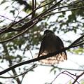 181009-37水浴び後羽を乾かすツミ♀