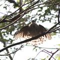 写真: 181009-39水浴び後羽を乾かすツミ♀