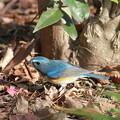 写真: 私の野鳥図鑑(蔵出し)・110306大物ゲット・ルリビタキ♂