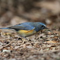 写真: 私の野鳥図鑑(蔵出し)・120228ミミズをとったルリビタキ