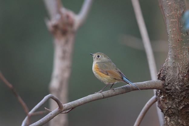 私の野鳥図鑑(蔵出し)・120425ルリビタキの雄の幼鳥