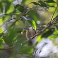 写真: 私の野鳥図鑑(蔵出し)・121223敬礼!・ルリビタキ♂