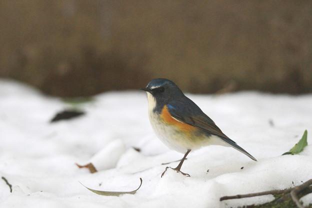 私の野鳥図鑑(蔵出し)・130115ルリビタキ♂