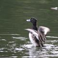 写真: 181020-2キンクロハジロ♂の羽ばたき(1/3)