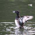 写真: 181020-3キンクロハジロ♂の羽ばたき(2/3)