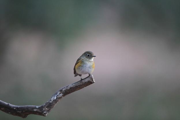 私の野鳥図鑑(蔵出し)・130209ルリビタキ若雄