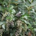 写真: 181113-2木の実を運ぶヒヨドリ(1/3)