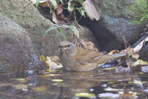 181115-9シロハラ♀の水浴び