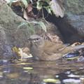 写真: 181115-9シロハラ♀の水浴び