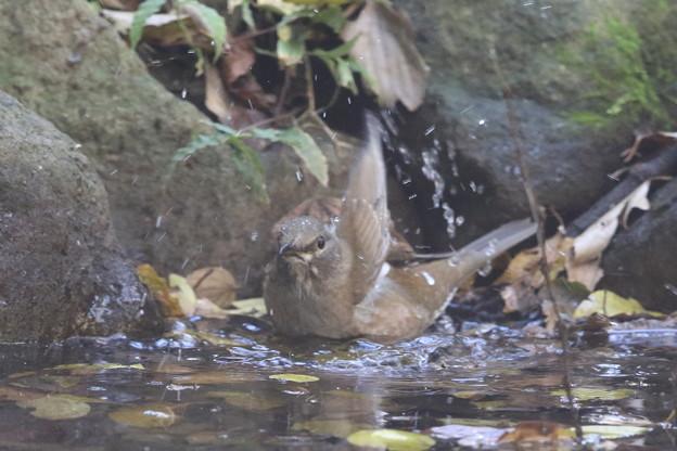 181115-10シロハラ♀の水浴び